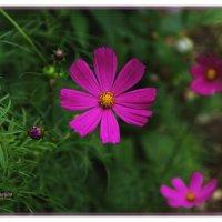 Цветок и бутон... :: Anatol Livtsov