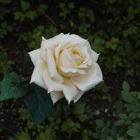 садовая роза :: Наталья Литвинчук