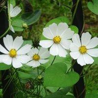 Космея - нежный беленький цветок :: Маргарита Батырева