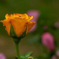 Роза :: Александр Кодак