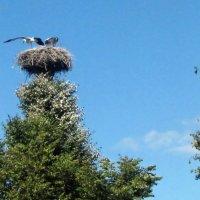 Аисты, подросшие птенцы :: veera (veerra)