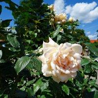 """""""Розы прекрасны, розы нежны..."""" :: Galina Dzubina"""