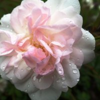 Розовая нежность. :: Марина Харченкова