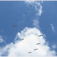 парящие пеликаны ... :: Елена Михайловна