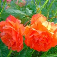 Солнечные розы :: spm62 Baiakhcheva Svetlana