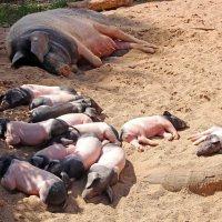 Свинство отдыхает :: Alexander Andronik