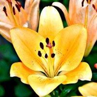 Лилии цветок. :: Михаил Столяров