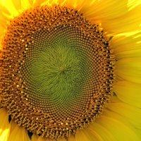 Солнечный цветок :: Александр Юдин