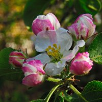 цвет яблони :: Татьяна Васильева