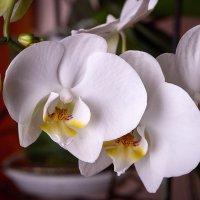 Белая Орхидея :: Николай Малявко