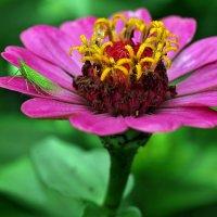 Зарисовки летние. Про златоглазку, а может про цветок... :: Александр Резуненко