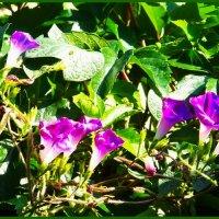Очень короткая жизнь утреннего цветка......... :: Любовь К.