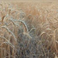 Колоски пшеничные... :: *MIRA* **