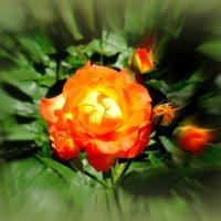 Роза :: Нина Бутко