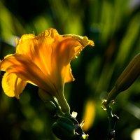 Просто красивый цветок... :: Вячеслав Владимирович