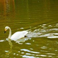 Задумчивый лебедь :: Сергей Царёв
