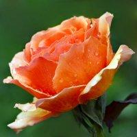 Красавица из сада. Символ грёз и желаний. :: Николай Ярёменко