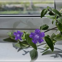 Цветы на окне :: Любовь Чунарёва