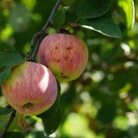 яблочки :: Елена Дапирка