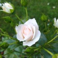 Розы :: Любовь