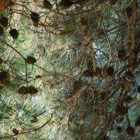 Шишки в лесу :: Сергей Беляев