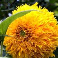 Солнечный цветок. :: Aлександр **