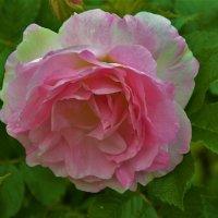 Роза у Меншиковского дворца... :: Sergey Gordoff