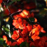 Вспоминая  весну... Цветет айва. :: Валерия  Полещикова