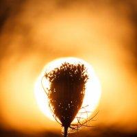 Закатный цветок :: Алекс Исаенко