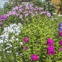 флоксы расцветают :: Лариса Батурова