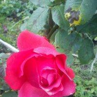 роза :: Светлана Краснова