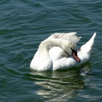 Лебедь... :: emaslenova