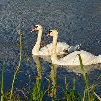 Пара белых лебедей :: Игорь