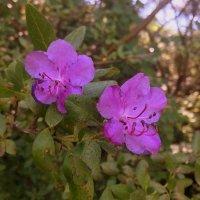 Багульник цветёт . :: Мила Бовкун