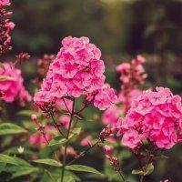 Флоксы в саду :: Larissa