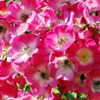 Розовый рай... :: Алексей Цветков