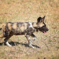 Wild dog :: Натали Джатье