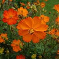 Космея солнечная оранжевая... :: Galina Dzubina