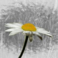 ромашка белая.. :: Lena