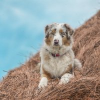 австралийская овчарка :: Юлия Дроздова