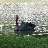 Чёрный лебедь :: Татьяна Смоляниченко