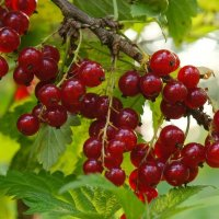 Кислая ягода.. :: марк