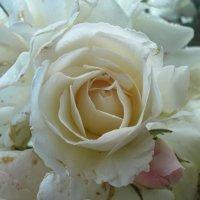 Роза :: Дарья Лаврухина