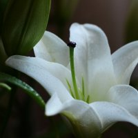 Прекрасная лилия :: Julia Volkova