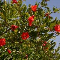 гранатовое дерево весной :: Александра