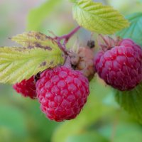 ягода малина :: Andrei Antipin
