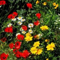 Разноцветье лета :: Нина Бутко