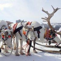 Северные олени... :: emaslenova