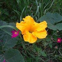 Цветок декоративной тыквы :: Маргарита Батырева