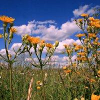 Полевые цветы - как красивы, просты ... :: Евгений Юрков